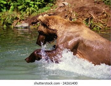 Grizzly Bear Fishing (Ursus arctos horribilis)