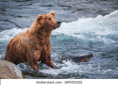 Grizzly Bear fishing in the water of Brooks River. Katmai National park, Alaska. High quality photo