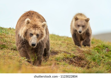 Grizzly bear follows mum, Alaska brown bear