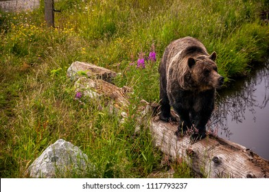A grizzly bear in Grouse Mountain, Vancouver BC