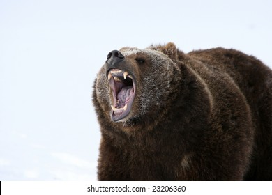 Growling Bear Images Stock Photos Amp Vectors Shutterstock