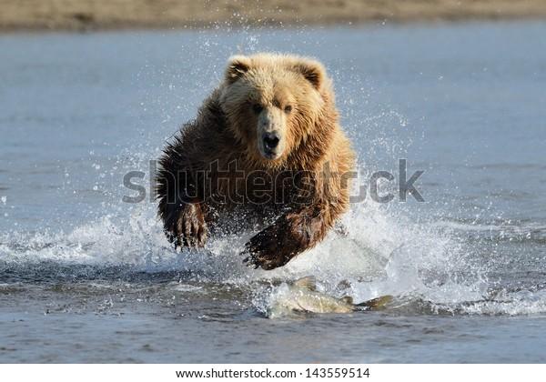 Grizzly Bear jumping at fish