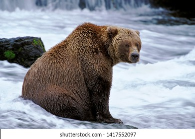 Grizzly Bear large male sitting on a rock by a wterfall, fishing for Salmon.