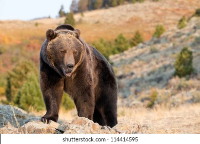 Grizzly Bear looking over edge of cliff