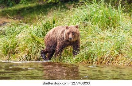 Grizzly Bear looking for salmon in Alaska