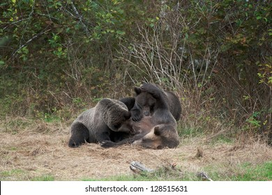 Grizzly Bear mother (Ursus arctos) breastfeeding two cubs