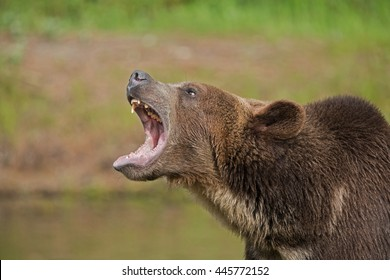 Grizzly bear with mouth open, snarling.