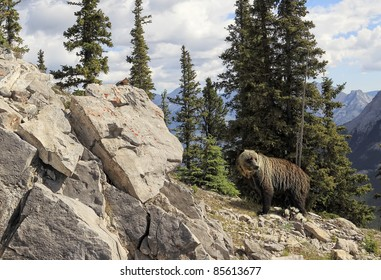 Grizzly bear in national park Banff (Albert. Canada)