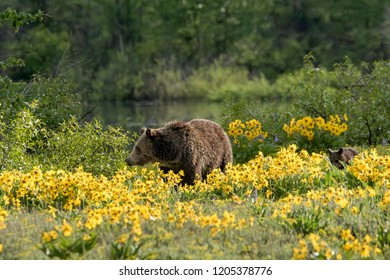 Grizzly Bear in nature