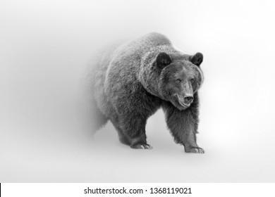 Grizzly bear nature wildlife animal walking out of the mist
