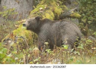 Grizzly bear, north american brown bear ursus arctos