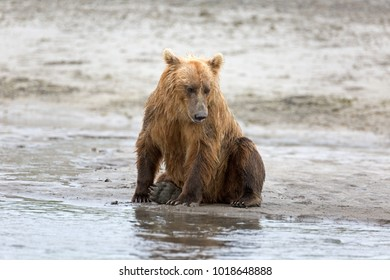 Grizzly bear on the shore of the douglas river