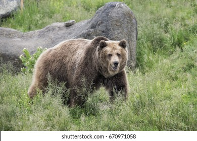 Grizzly bear portraits