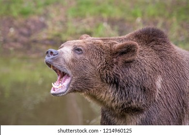 Grizzly Bear Roaring with Water in Background