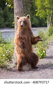 Grizzly bear rubbing its back on a tree like in the jungle book