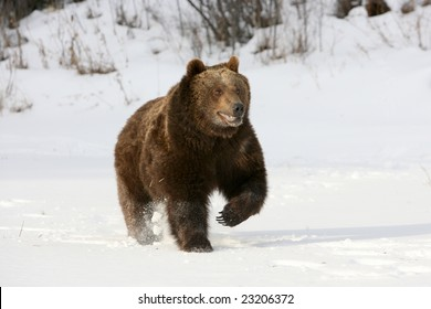 Grizzly Bear Running Against Snow Background