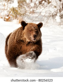 Grizzly bear running in fresh snow