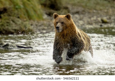 Grizzly Bear running in Knight Inlet British Columbia