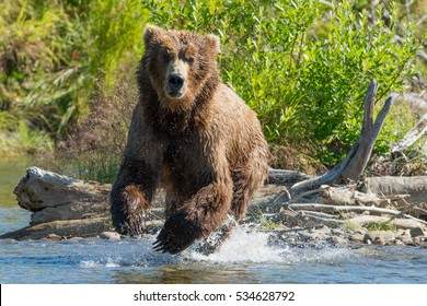 grizzly bear running up river toward the camera
