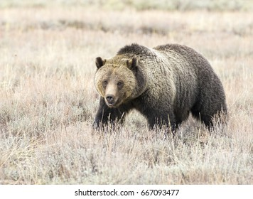 Grizzly bear in sagebrush meadow in autumn