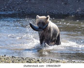Grizzly Bear with Salmon, Lake Clarke National Park, Alaska