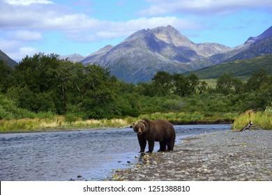Grizzly Bear Scene Kodiak