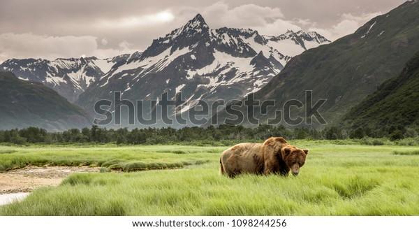 Grizzly Bear de Shores of Alaska.