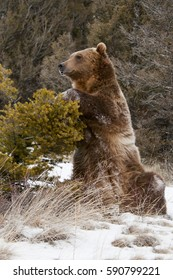 Grizzly Bear Sitting by bush
