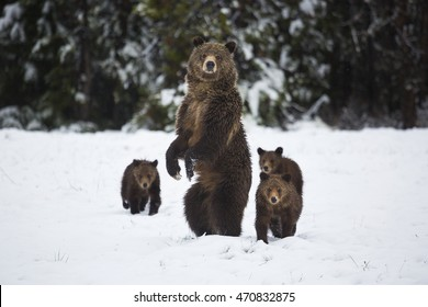A grizzly bear sow stands on her hind legs as her three cubs follow her in Grand Teton National Park, Wyoming.