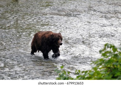 Grizzly bear splashes through Fish Creek during the summer salmon run in Hyder, Alaska.