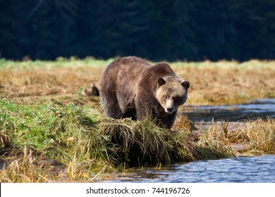 Grizzly Bear stand beside a small river in british columbia canada
