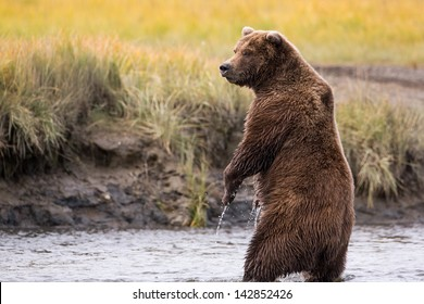 Grizzly Bear Standing in a River While Fishing for Salmon