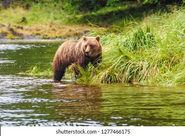 Grizzly Bear taken from a kayak with a telephoto lens in Alaska