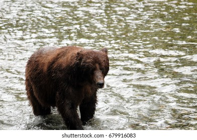 Grizzly bear tromps through Fish Creek during the summer salmon run in Hyder, Alaska.