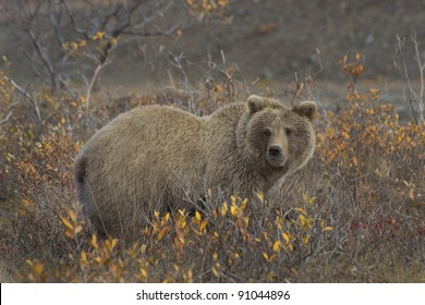 Grizzly Bear (Ursus arctos) in the colorful fall tundra and surrounded by favorite soap berries, Denali National Park and Preserve, Alaska.