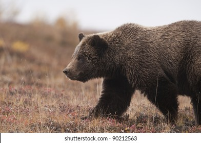 A Grizzly Bear (Ursus arctos) crosses the fall tundra, Denali National Park, Alaska.