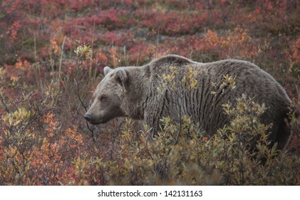 A Grizzly Bear (Ursus arctos) feeds in the berry rich tundra of Denali National Park. As winter approaches the bears of Denali enter a period of hyperphagia before going into hibernation.