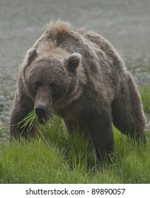 Grizzly bear (Ursus arctos) feeds on the lush new growth of grass in Denali National Park, ALaska.