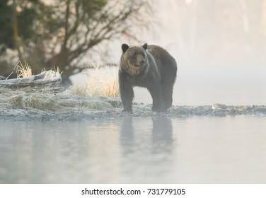 Grizzly Bear (Ursus arctos) - Frosty Grass