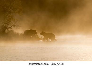 Grizzly Bear (Ursus arctos) - Golden Greeting