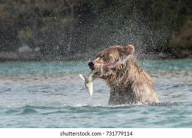 Grizzly Bear (Ursus arctos) - Gotcha