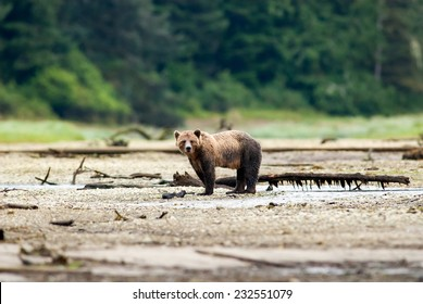 Grizzly Bear (Ursus arctos horribilis) standing next to water pool at the edge of boreal forest. British Columbia, Canada, North America.