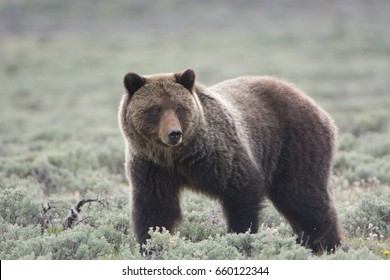 Grizzly Bear (Ursus arctos horribilis) in Sagebrush in Yellowstone National Park