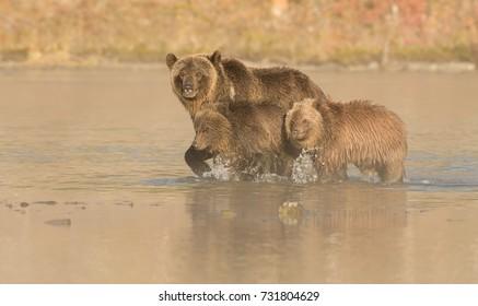 Grizzly Bear (Ursus arctos) - Keep Moving