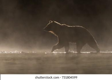 Grizzly Bear (Ursus arctos) - Light Trail