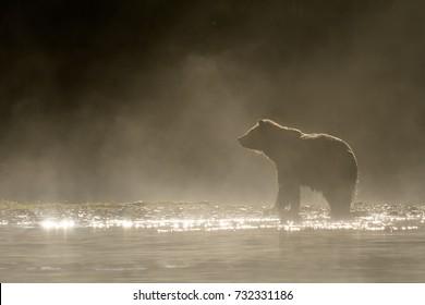 Grizzly Bear (Ursus arctos) - Misty Dawn