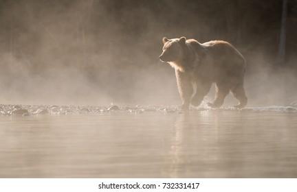 Grizzly Bear (Ursus arctos) - Morning Light