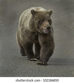 Grizzly Bear (Ursus arctos) is number one on the food chain in Denali National Park, Alaska.