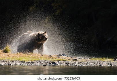 Grizzly Bear (Ursus arctos) - Shaking Spray