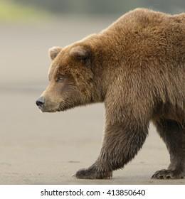 Grizzly Bear (Ursus arctos) - Side Portrait